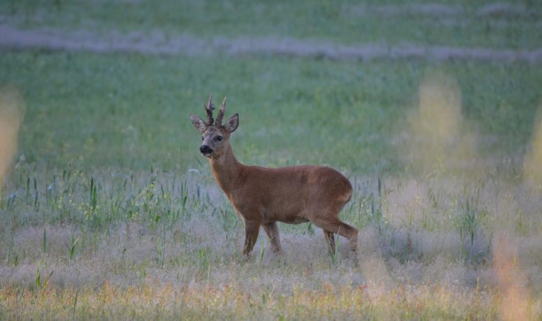 A relatively large buck with his red summer coat