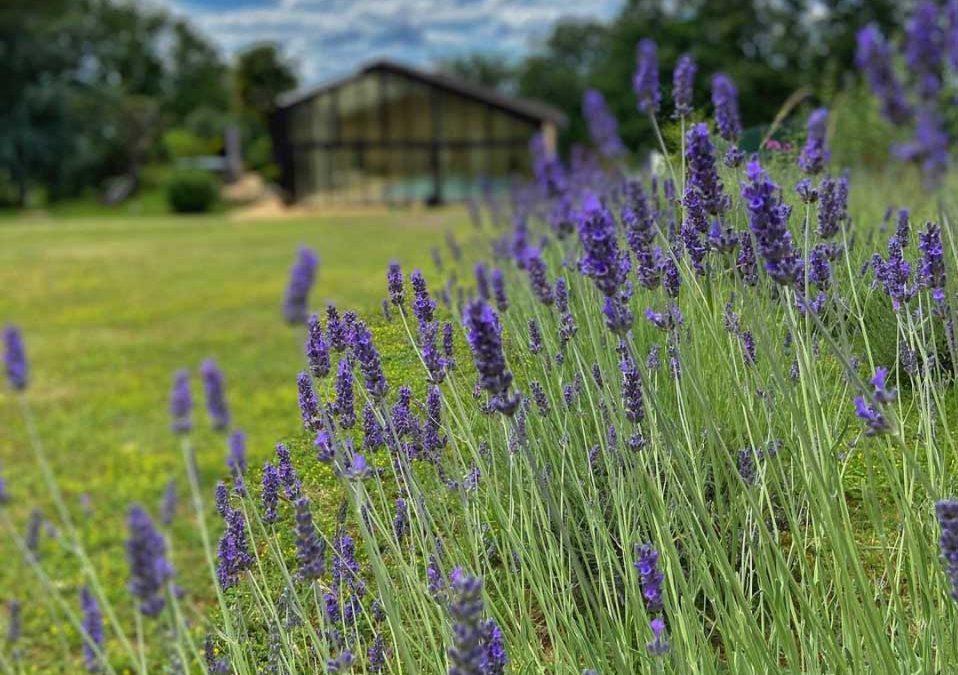 900 New lavender Plants
